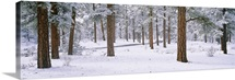Snow covered trees in a forest, Grand Canyon National Park, Arizona