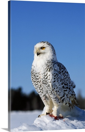 Snowy owl (Nyctea scandiaca) on snow perch, profile.