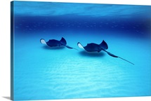 Southern Stingrays Grand Caymans