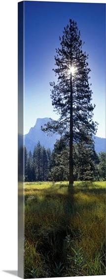 Sun behind pine tree, Half Dome, Yosemite Valley, California