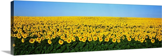 Sunflower Field ND