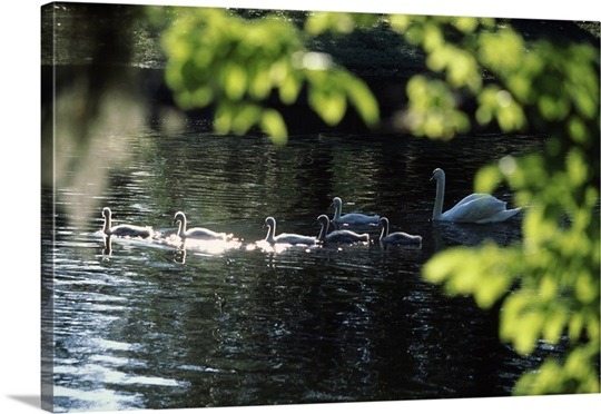 Swan family in a lake, Middleton Place, Charleston, Charleston County, South Carolina,