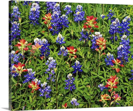Texas Bluebonnets And Indian Paintbrush Flowers In Bloom