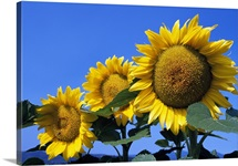 Three sunflower blossoms in a row, pale blue sky.