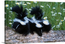 Three young skunks on log in wildflower meadow, Minnesota