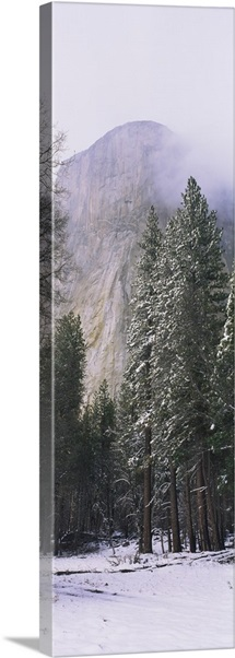 Trees on a snow covered landscape, El Capitan, Californian Sierra Nevada, Yosemite National Park, Mariposa County, California