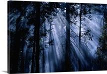 Trees Yosemite National Park CA