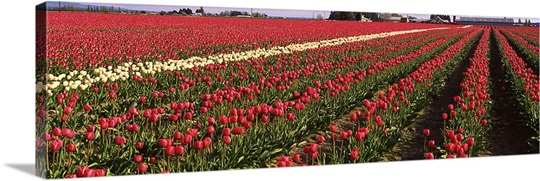 Tulips WA