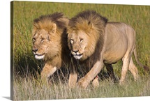 Two lion brothers walking in a forest, Ngorongoro Conservation Area, Arusha Region, Tanzania (Panthera leo)