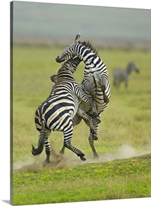 Two zebras fighting in a field, Ngorongoro Conservation Area, Arusha Region, Tanzania (Equus burchelli chapmani)