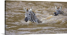 Two Zebras swimming in a river, Mara River, Masai Mara National Reserve, Kenya