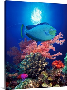 Vlamings unicornfish and Squarespot anthias (Pseudanthias pleurotaenia) with soft corals in the ocean