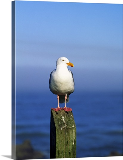 Western Gull Seabird On Post