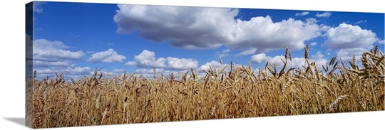 Wheat crop growing in a field, near Edmonton, Alberta, Canada