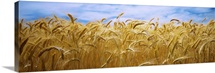 Wheat crop growing in a field, Palouse Country, Washington State