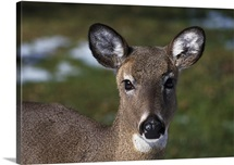 Whitetail deer doe, portrait.