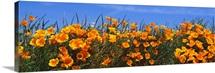 Wild California Poppies Antelope Valley CA