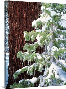 Winter Tree Sierra Nevada Mts CA