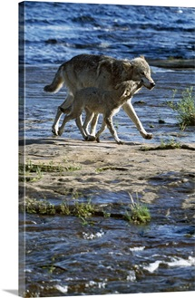 Wolf mother crossing stream with cub, Minnesota