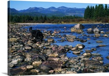Wolf On Rocks At Edge Of Flathead River