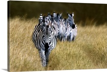 Zebras Kenya Africa