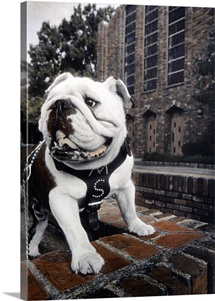 Mississippi State Photographs Bully the Bulldog