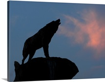 NC State University Pictures Howl at Sunset