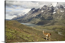 Guanaco, Torres del Paine National Park, Patagonia, Chile