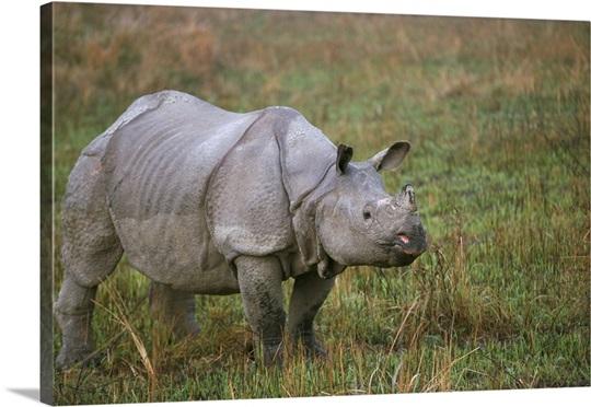 Horn Please! Rhino on the horizon - Tirunelveli - The Hindu