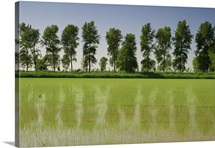Rice fields with a row of trees, Ste. Marie de la Mer in  France