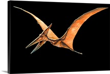 Artwork of the pterosaur, Pteranodon sp