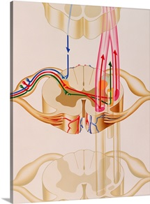 Artwork showing pain pathways in spinal cord