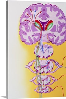 Artwork showing the nerve pathways to the brain
