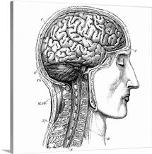 Brain antomy, 19th century artwork