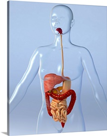 Digestive system, artwork