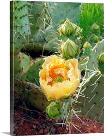 Prickly pear cactus (Opuntia sp.)