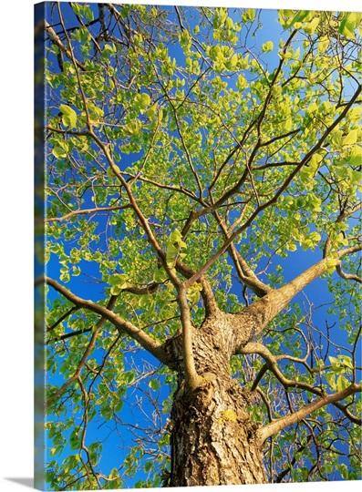Wych Elm Tree Ulmus Glabra Photo Canvas Print Great