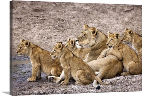 African Lion Pride Photo Canvas Print | Great Big Canvas: www.greatbigcanvas.com/view/african-lion-pride,ah0003-4855
