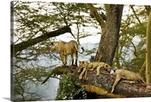 African Lions on a Limb