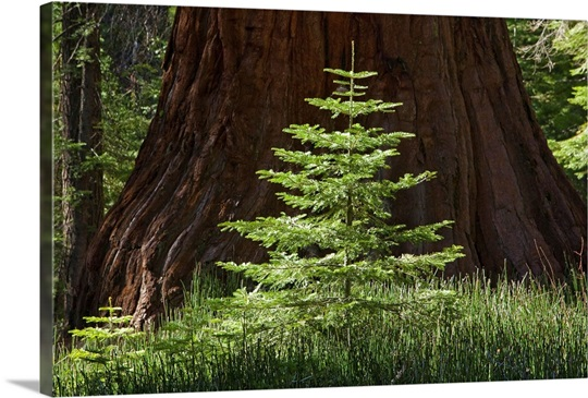 Baby Redwood Tree in front of parent, Redwood Forest, Yosemite, California
