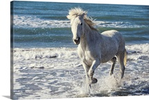 Camargue Horse running on the beach, South of France, France
