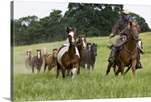 Cowboy with herd of Western Horses, near Yosemite, California