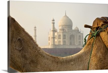 India Camel at the Taj