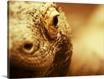 Komodo Dragon close up