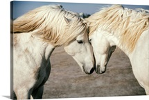 Two Camargue horses loving on each other in the South of France