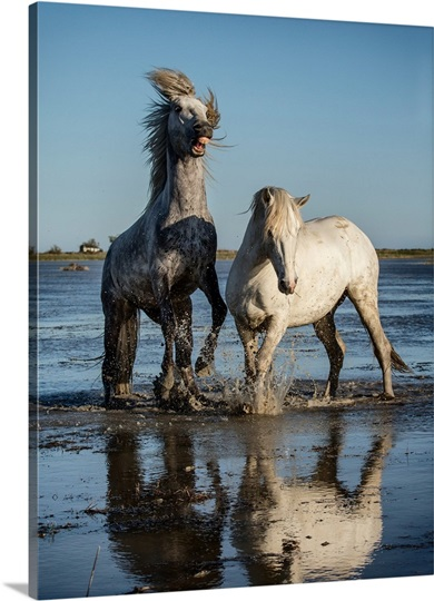 White Camargue horse stallions fighting in the water