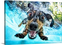 Dachshund diving into a pool
