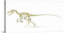 3D rendering of a Velociraptor dinosaur skeleton, side view