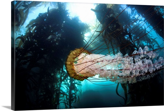 A large lion's mane jellyfish swims in a kelp forest Photo ...