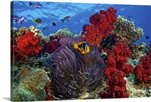 Orange-finned clownfish and soft corals on colorful reef, Fiji